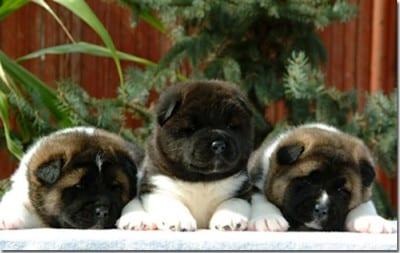 3cuccioli