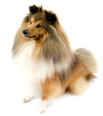 shetland-sheepdog