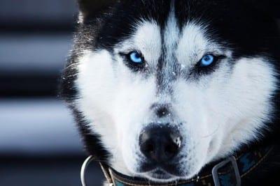 husky_occhi