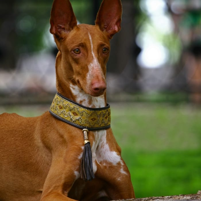 pharaoh-hound_medium