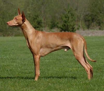 Pharaon Hound (Cane dei Faraoni)