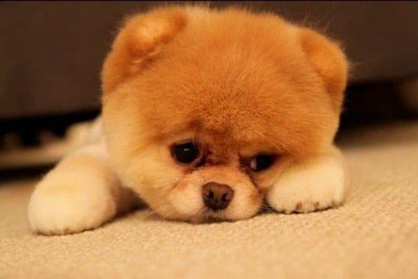 Non Esistono Gli Spitz Toy Ti Presento Il Cane
