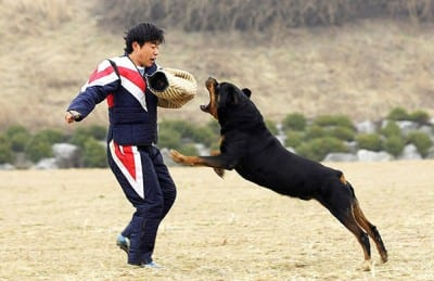 Rottweiler-Dog-angry-top-images-hd-wallpapers