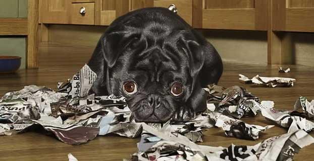 Pica Quando Il Cane Mangia Qualsiasi Schifezza Ti Presento Il Cane