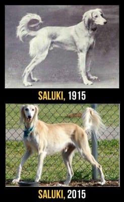 saluki1915
