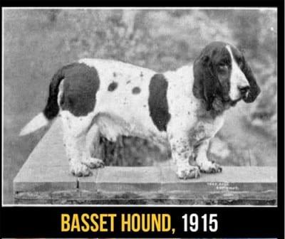 Ma non è un Bassethound: è un suo antenato!