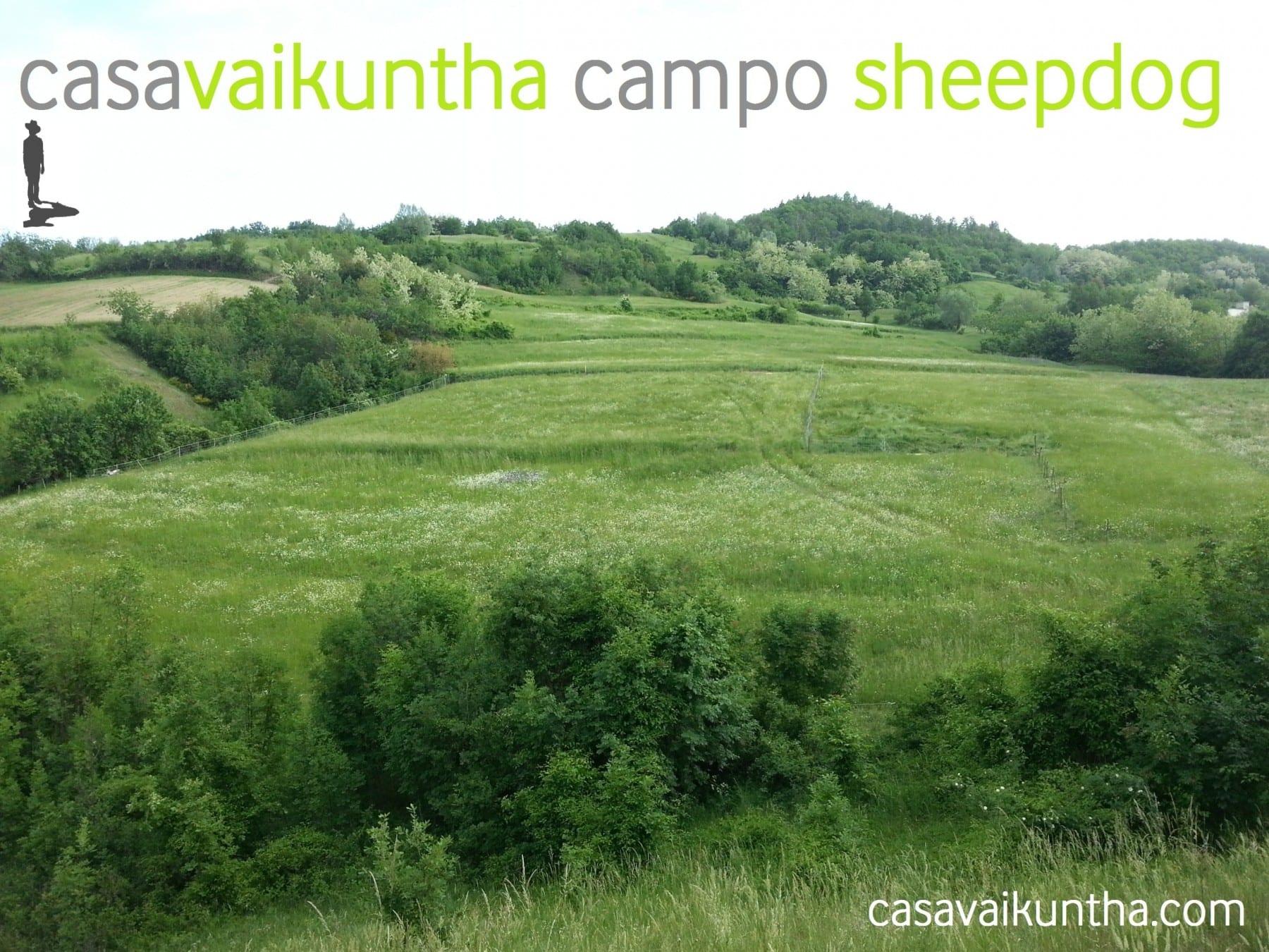campo sheepdog