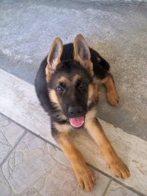 Cucciolo_di_pastore_tedesco_-_German_Shepherd