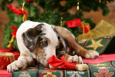 Catahoula Leopard Dog frisst Knochen vor Weihnachtsbaum