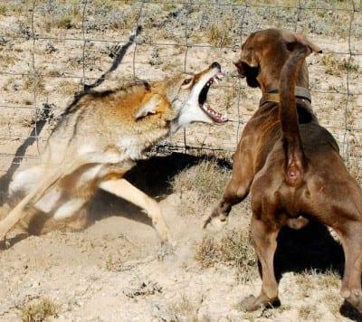 cane-vs-lupo