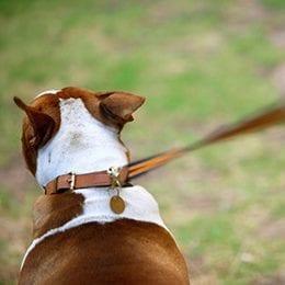Leash-Pulling-A-Dogs-Best-Friend