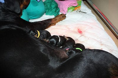 cuccioli_allattamento