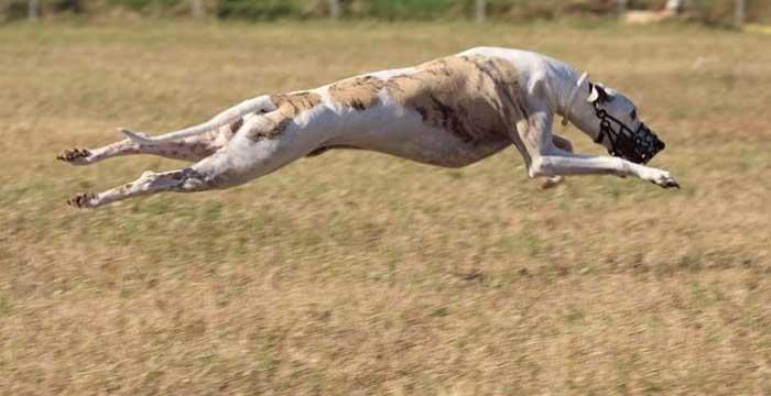 Cane che scatta i corsa