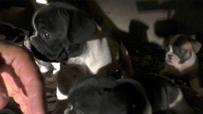 Sequestro cuccioli simil bouledogue francese