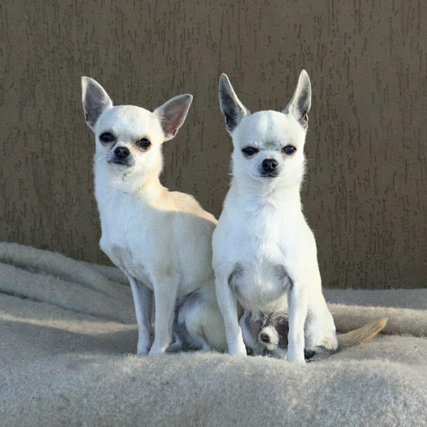 Chihuahua pelo corto perde pelo