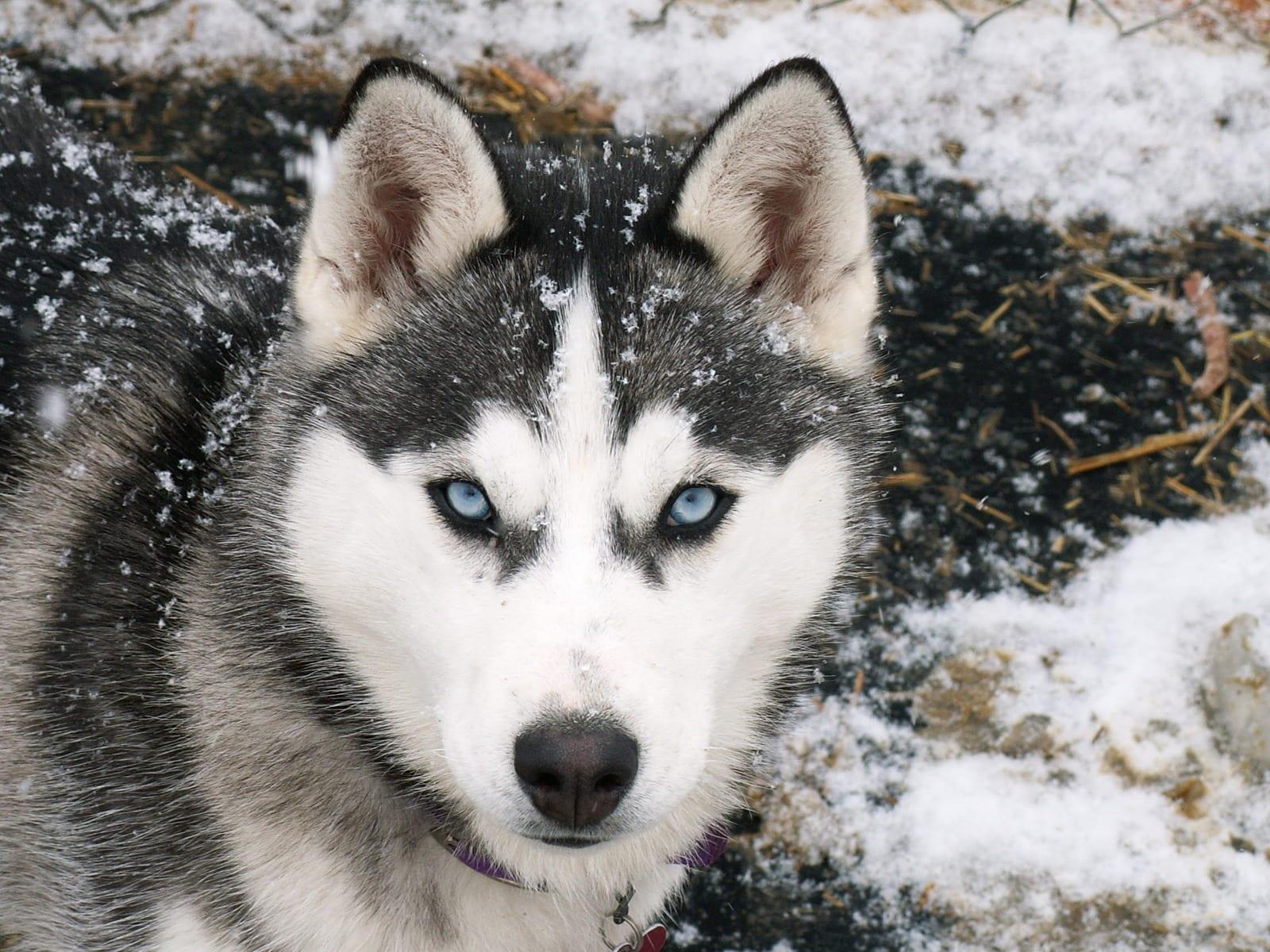Ti presento il siberian husky ti presento il cane - Husky occhi diversi ...