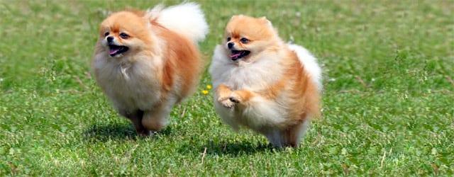 Non esistono gli spitz toy ti presento il cane for Cani pomerania