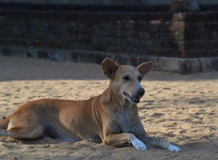 Cani Pariah Sri Lanka